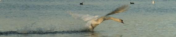Swan taking off