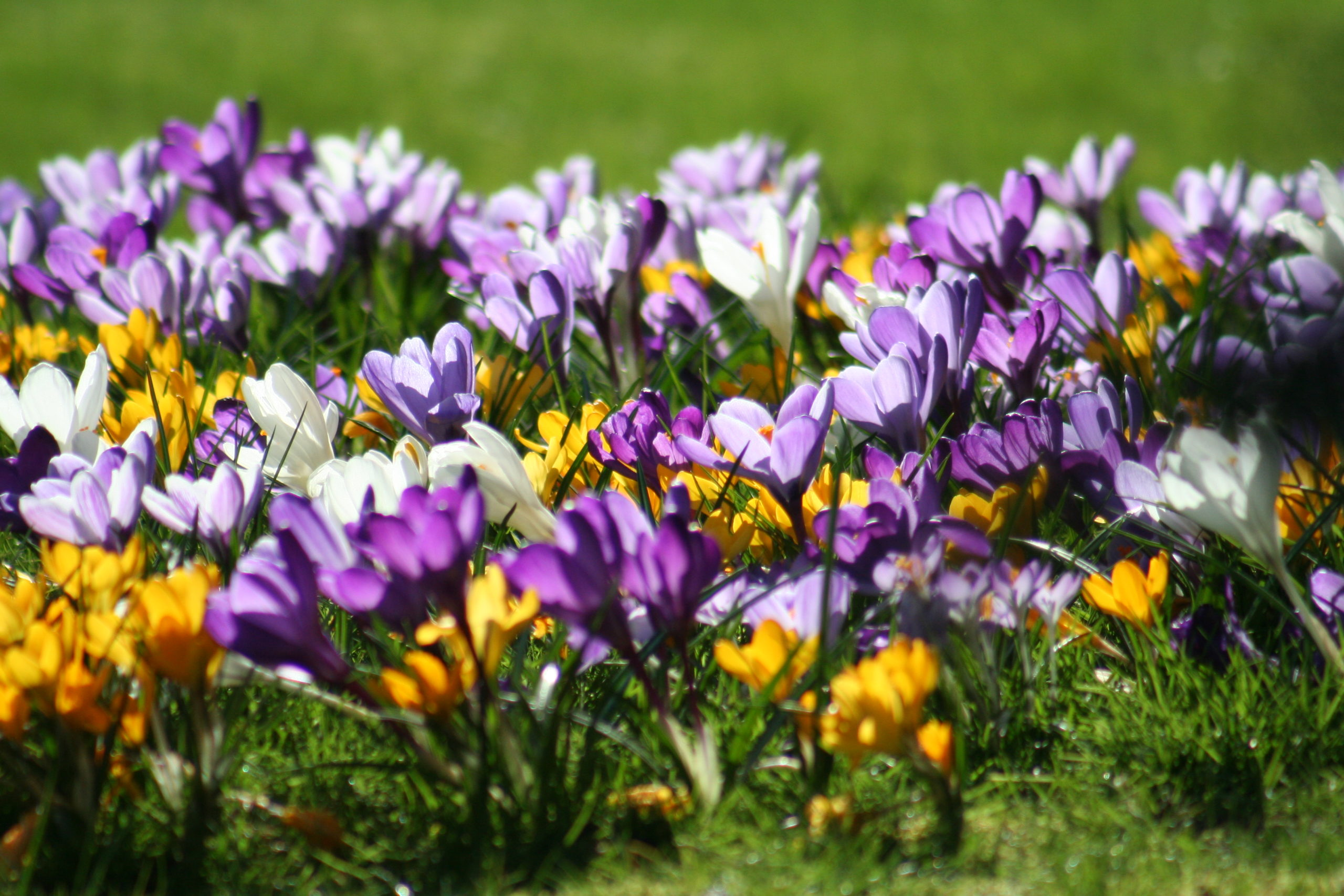 Crocuses and signs of spring